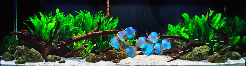 Discus Fish for sale - Looking for healthy fish