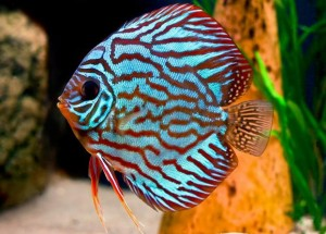 Discus Fish for Sale - look for a good show of colour in adult Discus Fish