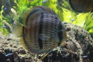 Wild Heckel Discus Fish