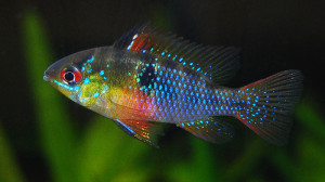 Ramirezi make good Discus tank mates