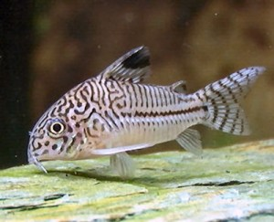 The Corydorus are a perfect as Discus Tank Mates