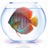 Give your Discus enough room by choosing the Right Tank Size