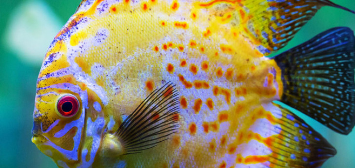 Discus Fish UK - Learn about Discus Keeping