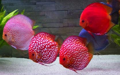 Stendker Discus Aquarium