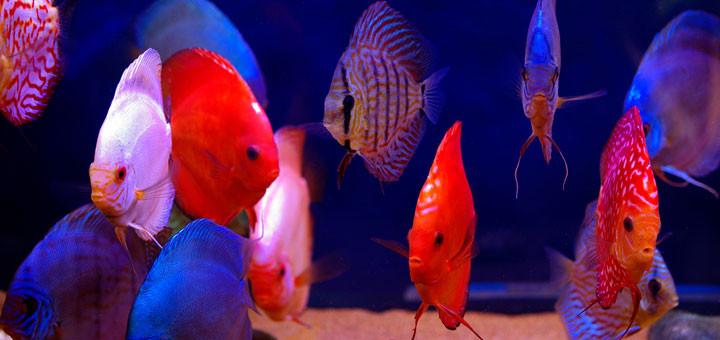 Stendker Discus Fish