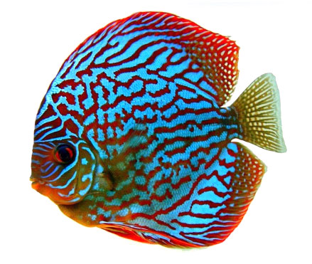 Stendker discus discus fish bred for health and vitality for Discus fish types