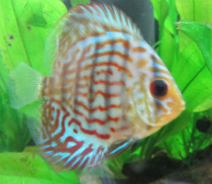 A Stunted Discus Fish for Sale - Look at the size of the eyes