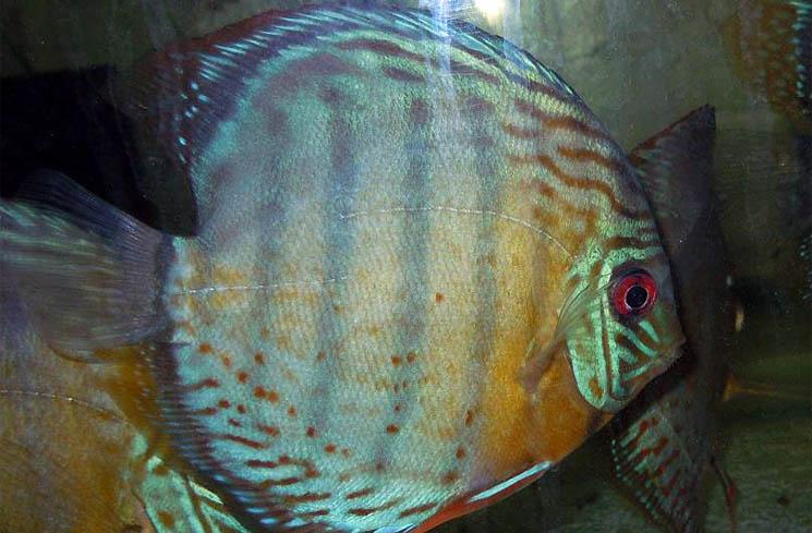 Wild Green Discus Fish