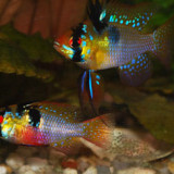 Discus Fish Tank Mates - Choose the right neighbours